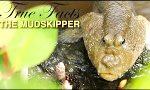 Lustiges Video : True Facts: Der Mudskipper